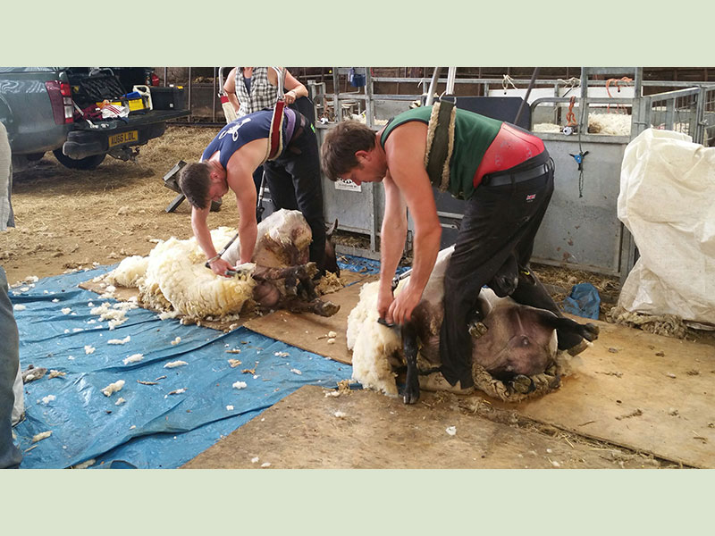 Sheep Shearing on Manor Farm, Cocking, W. Sussex